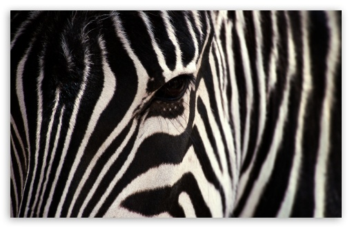 Zebra HD wallpaper for Wide 16:10 5:3 Widescreen WHXGA WQXGA WUXGA WXGA WGA ; HD 16:9 High Definition WQHD QWXGA 1080p 900p 720p QHD nHD ; Standard 4:3 5:4 3:2 Fullscreen UXGA XGA SVGA QSXGA SXGA DVGA HVGA HQVGA devices ( Apple PowerBook G4 iPhone 4 3G 3GS iPod Touch ) ; Tablet 1:1 ; iPad 1/2/Mini ; Mobile 4:3 5:3 3:2 16:9 5:4 - UXGA XGA SVGA WGA DVGA HVGA HQVGA devices ( Apple PowerBook G4 iPhone 4 3G 3GS iPod Touch ) WQHD QWXGA 1080p 900p 720p QHD nHD QSXGA SXGA ; Dual 16:10 5:3 16:9 4:3 5:4 WHXGA WQXGA WUXGA WXGA WGA WQHD QWXGA 1080p 900p 720p QHD nHD UXGA XGA SVGA QSXGA SXGA ;