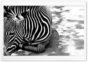 Zebra BW HD Wide Wallpaper for Widescreen
