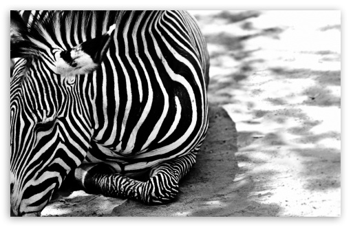 Zebra BW HD wallpaper for Wide 16:10 5:3 Widescreen WHXGA WQXGA WUXGA WXGA WGA ; HD 16:9 High Definition WQHD QWXGA 1080p 900p 720p QHD nHD ; Standard 4:3 5:4 3:2 Fullscreen UXGA XGA SVGA QSXGA SXGA DVGA HVGA HQVGA devices ( Apple PowerBook G4 iPhone 4 3G 3GS iPod Touch ) ; Tablet 1:1 ; iPad 1/2/Mini ; Mobile 4:3 5:3 3:2 16:9 5:4 - UXGA XGA SVGA WGA DVGA HVGA HQVGA devices ( Apple PowerBook G4 iPhone 4 3G 3GS iPod Touch ) WQHD QWXGA 1080p 900p 720p QHD nHD QSXGA SXGA ;