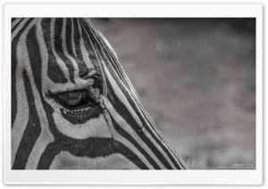 Zebra Eye HD Wide Wallpaper for Widescreen
