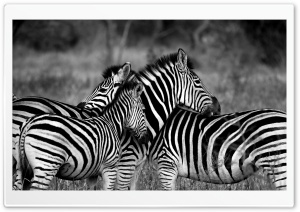 Zebra Family HD Wide Wallpaper for Widescreen