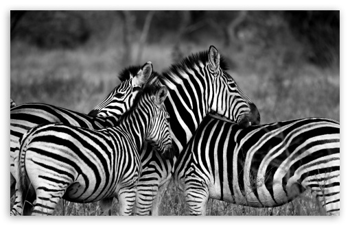 Zebra Family ❤ 4K UHD Wallpaper for Wide 16:10 5:3 Widescreen WHXGA WQXGA WUXGA WXGA WGA ; 4K UHD 16:9 Ultra High Definition 2160p 1440p 1080p 900p 720p ; UHD 16:9 2160p 1440p 1080p 900p 720p ; Standard 4:3 5:4 3:2 Fullscreen UXGA XGA SVGA QSXGA SXGA DVGA HVGA HQVGA ( Apple PowerBook G4 iPhone 4 3G 3GS iPod Touch ) ; Smartphone 5:3 WGA ; Tablet 1:1 ; iPad 1/2/Mini ; Mobile 4:3 5:3 3:2 16:9 5:4 - UXGA XGA SVGA WGA DVGA HVGA HQVGA ( Apple PowerBook G4 iPhone 4 3G 3GS iPod Touch ) 2160p 1440p 1080p 900p 720p QSXGA SXGA ;