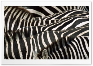 Zebra Group HD Wide Wallpaper for Widescreen