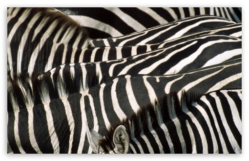 Zebra Group HD wallpaper for Wide 16:10 5:3 Widescreen WHXGA WQXGA WUXGA WXGA WGA ; HD 16:9 High Definition WQHD QWXGA 1080p 900p 720p QHD nHD ; Standard 3:2 Fullscreen DVGA HVGA HQVGA devices ( Apple PowerBook G4 iPhone 4 3G 3GS iPod Touch ) ; Tablet 1:1 ; Mobile 5:3 3:2 16:9 - WGA DVGA HVGA HQVGA devices ( Apple PowerBook G4 iPhone 4 3G 3GS iPod Touch ) WQHD QWXGA 1080p 900p 720p QHD nHD ;
