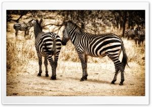 zebra Serengeti HD Wide Wallpaper for Widescreen