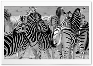 Zebras in South Africa HD Wide Wallpaper for 4K UHD Widescreen desktop & smartphone
