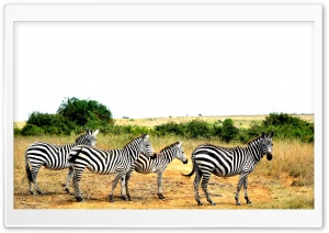 Zebras Lined Up HD Wide Wallpaper for Widescreen