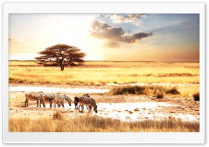 Zebras, Savanna HD Wide Wallpaper for Widescreen