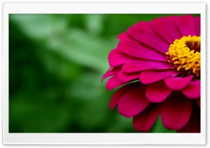 Zinnia HD Wide Wallpaper for 4K UHD Widescreen desktop & smartphone