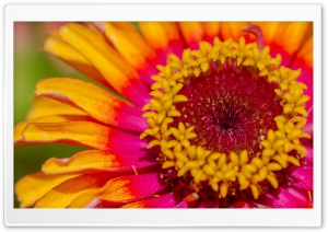 Zinnia Bright Colors HD Wide Wallpaper for Widescreen