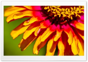 Zinnia Macro HD Wide Wallpaper for 4K UHD Widescreen desktop & smartphone