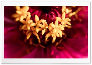 Zinnia Stamens Macro HD Wide Wallpaper for Widescreen