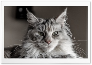 Ziva Maine Coon Cat Ultra HD Wallpaper for 4K UHD Widescreen desktop, tablet & smartphone