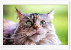 Ziva Maine Coon Cat, Adorable, Beautiful Ultra HD Wallpaper for 4K UHD Widescreen desktop, tablet & smartphone