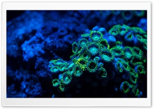 Zoanthids Coral HD Wide Wallpaper for Widescreen
